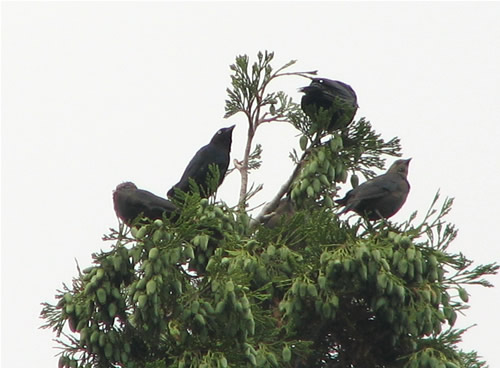 brewer's blackbirds on a cedar