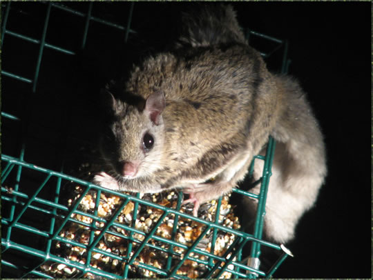 San Bernardino Flying Squirrel