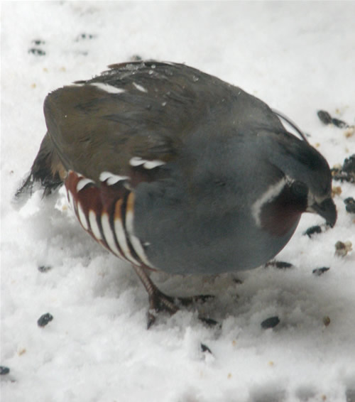 mountain quail, hungry enough to fly up to my balcony