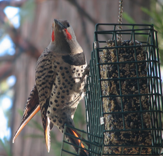 Red Shafted Northern Flicker